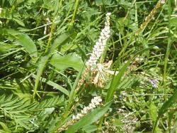 イブキトラノオより茎太・花穂下部の花はムカゴになる