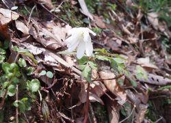 アズマイチゲより葉の切れ込みが深いです
