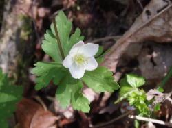 春の代表花のひとつ